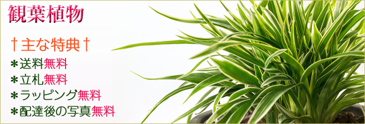 観葉植物 商品一覧