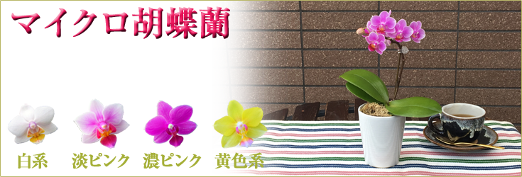 マイクロ胡蝶蘭 世界最小クラスのとっても小さな胡蝶蘭 商品一覧