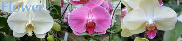 森田洋蘭園 胡蝶蘭の花