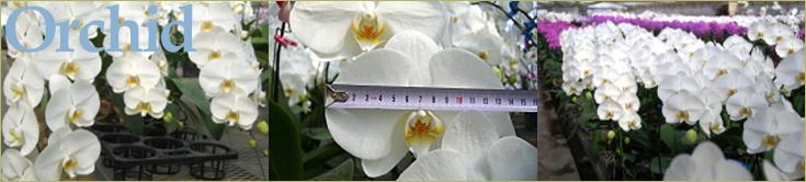 大輪胡蝶蘭 おぎの蘭園 多数の賞を獲得した「おぎの蘭園」の胡蝶蘭