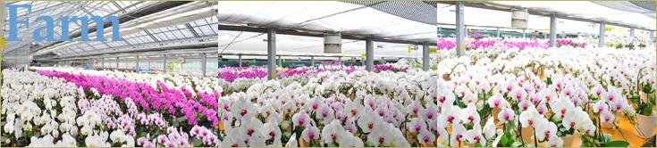 協力胡蝶蘭生産地、オズオーキッドの農場