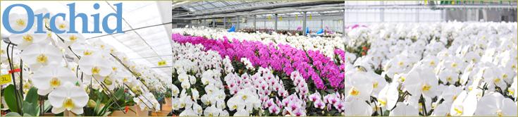 協力胡蝶蘭生産地、オズオーキッドの胡蝶蘭栽培