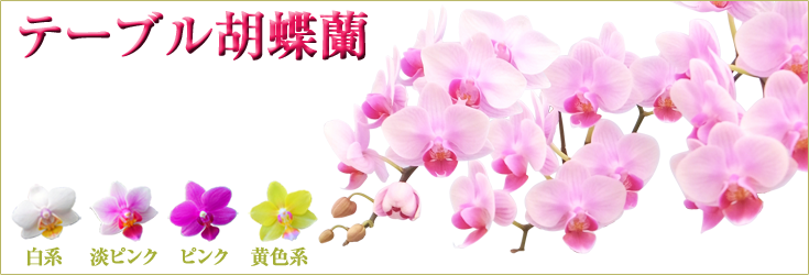 胡蝶蘭 テーブル 小ぶりな胡蝶蘭 商品一覧ページ