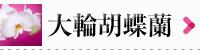 大輪胡蝶蘭商品一覧|フラワーギフト通販ミーム